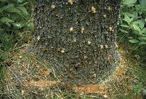 Pine beetle infestation - boring dust