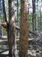 Pine beetle infestation - heavy woodpecker damage