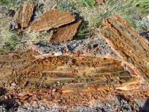 Pine beetle infestation - live beetles