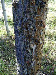 Pine beetle infestation - pitch tubes