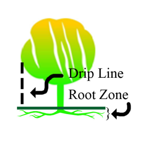 Trees-are-Fed-Out-to-the-Drip-Line-Where-Most-Active-Feeder-Roots-are-Located